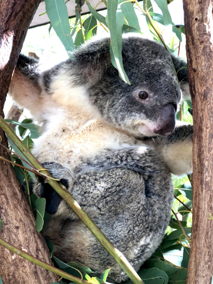 A koala at the Billabong Sanctuary.