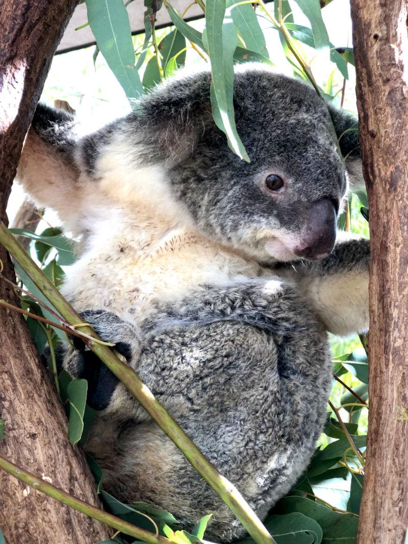 A koala at the Billabong Sanctuary.